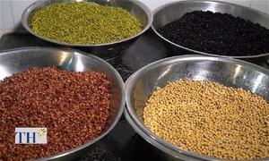 Người Huế ủ các loại đậu nảy mầm làm bột ngũ cốc dinh dưỡng