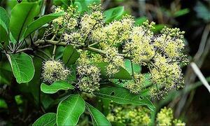 Mật ong Ngũ Gia Bì ở Lạng Sơn có vị đắng hậu