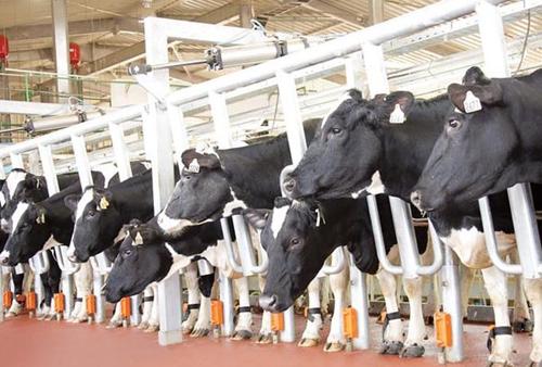 [Caption]Mỗi con chip thông minh đeo dưới chân bò sữa TH có thể theo dõi sức khỏe từng cá thể bò, phát hiện các bệnh gây ảnh hưởng tới chất lượng sữa (như viêm vú bò) trước 4 ngày, từ đó kịp thời cách ly và điều trị. Vì vậy, dòng sữa TH tốt nhất, tươi và sạch từ những bò sữa khỏe mạnh, tránh tình trạng dòng sữa chứa cả bạch cầu, dịch viêm, máu hay dư lượng kháng sinh.