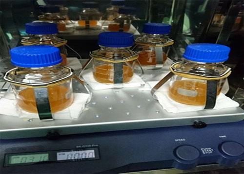 Chủng vi khuẩn được đựng trong bình nuôi cấy.