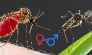Tại sao chỉ muỗi cái hút máu còn muỗi đực thì không?
