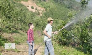 Vườn cam Lục Yên phòng côn trùng bằng cách phun nước, trồng xen ổi