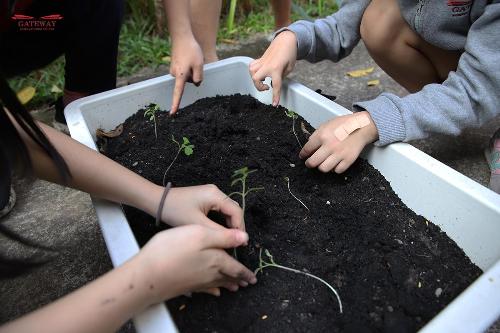 Học sinh trường Gateway thực hiện dự án sinh học trồng cây.
