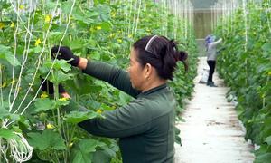 Vườn dưa lưới cho thu nhập 3 tỷ đồng mỗi năm ở Bình Phước