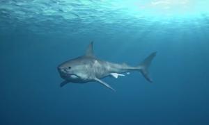 Loài cá mập có thể thay 20.000 chiếc răng