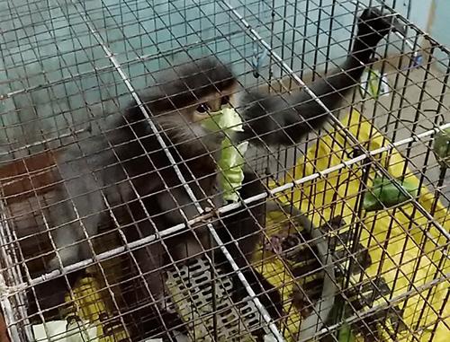 Cá thể voọc đang được chăm sóc tại Hạt kiểm lâm huyện Bình Sơn. Ảnh: Nhân vật cung cấp.