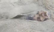 Cá sao biến mất dưới cát trong nháy mắt để ngụy trang