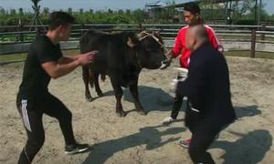 Võ sĩ Trung Quốc vật ngã con bò 400 kg trong vài phút
