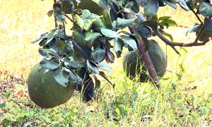 Hơn 2.000 hecta cây có múi bị chết vàng ở Đồng Tháp