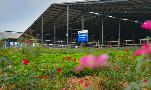 Trang trại bò A2 của TH tại Nghệ An