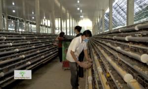 Trang trại nuôi chim cút không kháng sinh tại Bà Rịa - Vũng Tàu