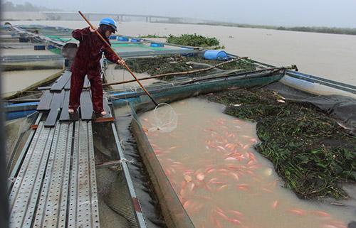 40 lồng cá không bị nước lũ cuốn thì bèo tấpvào, các thiếu ô xy bị chết. Ảnh: Đắc Thành.