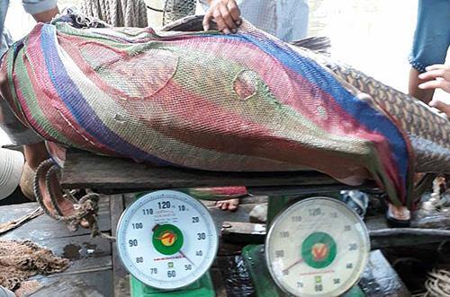 Cá hô cân nặng hơn 125 kg. Ảnh: Vĩnh Hưng