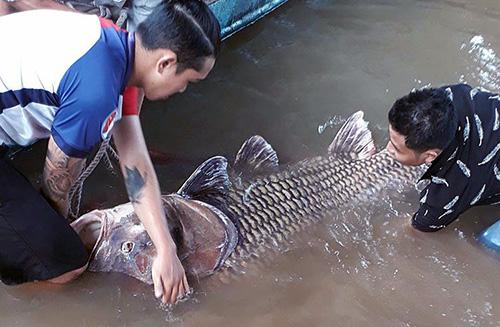Cá hô khi được kéo vào bờ vẫn còn sống. Ảnh: Vĩnh Hưng