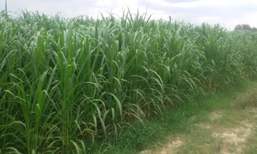 Cách bảo vệ nông trại hữu cơ khỏi thuốc trừ sâu của người Nà Tẻng