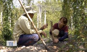 Giá trị kinh tế cao nhờ thuần hóa khoai mài dại trên rừng