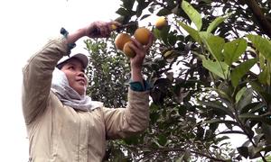 Vườn cam Cao Phong 1.000 tấn vào mùa thu hoạch