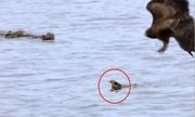 Bay xuống nước tránh diều hâu, chim thợ dệt bị cá sấu nuốt gọn