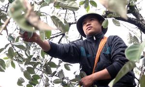 Nông dân Sơn La kiếm tiền triệu mỗi ngày nhờ thu hoạch nhót xanh