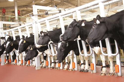 Con chip đeo ở chân bò- thiết bị thông minh có thể phát hiện bệnh viêm vú ở bò trước 4 ngày.