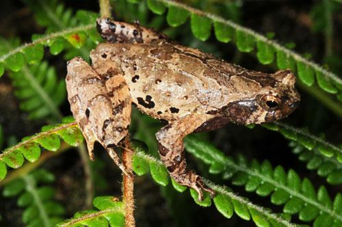 Loài Cóc núi tiểu yêu tinh được các nhà khoa học phát hiện tại Việt Nam. Ảnh: WWF.