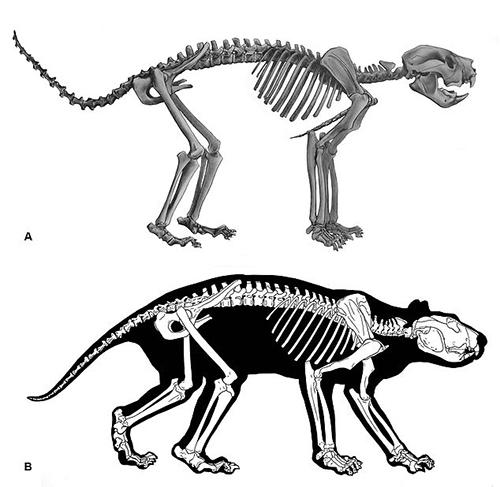 Bộ xương hoàn chỉnh của sư tử núi. Ảnh: Long Room.