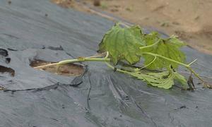 Rau màu phục vụ Tết tại Đà Nẵng bị thiệt hại sau lũ
