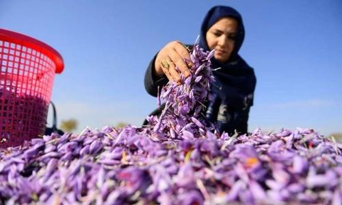 Một phụ nữ thu hái hoa nghệ tây trên cánh đồng ở tỉnh Herat hôm 12/12. Ảnh: AFP.