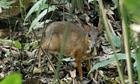 Hươu chuột quý hiếm xuất hiện ở Trung Quốc