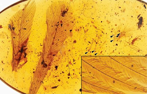 Loại lông vũ kẹt trong hổ phách có hình dạng khác thường.Ảnh: Journal of Palaeogeography.