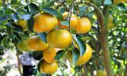 Hương vị lạ của trái quýt vàng mọc ở vùng núi đá vôi