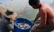 Nông dân miền Tây ồ ạt phá ruộng lúa đào ao nuôi cá tra