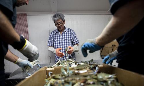 Ông Thế Nguyễn, 61 tuổi, làm việc tại cơ sở kinh doanh đánh bắt và chế biến cua xanh ở thị trấn Seadrift, bang Texas, Mỹ. Ảnh: NPR.