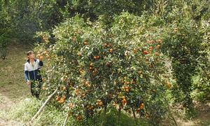 Nông dân trồng cam sạch thu gần một tỷ đồng mỗi năm