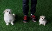 Chó cưng được chủ nhân bản để trở thành bất tử ở Trung Quốc