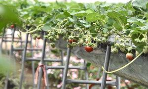 Trang trại dâu tây thu gần 10 tỷ đồng mỗi năm ở Sơn La