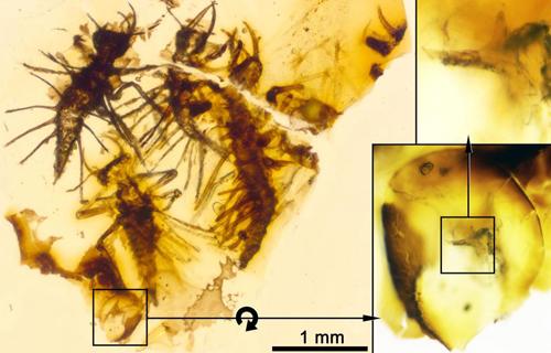 Xác côn trùng mới nở kẹt trong hổ phách 130 triệu năm. Ảnh: Sun.