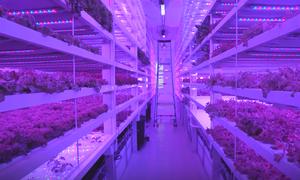 Trang trại thẳng đứng sản xuất 150 tấn rau mỗi năm