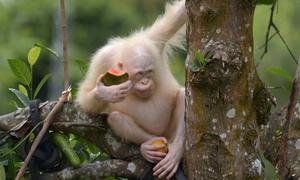 Đười ươi bạch tạng duy nhất trên thế giới được thả về rừng