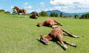 Cách ngủ đứng giúp ngựa sẵn sàng chạy khi bị tấn công