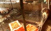 Giải cứu báo hoa mai mắc kẹt trong chuồng gà
