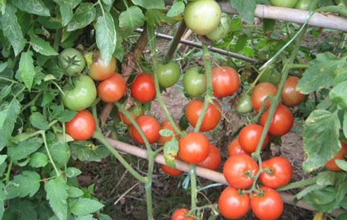 Giống cà chua chọn tạo bằng công nghệ mới có khả năng chống lại nấm bệnh.