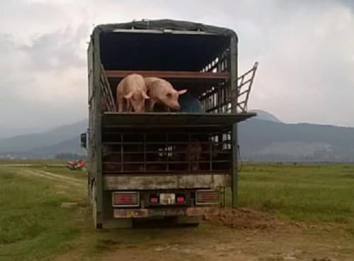 Xe tải chở lợn lở mồm long móng bị phát hiện. Ảnh: Đ.H