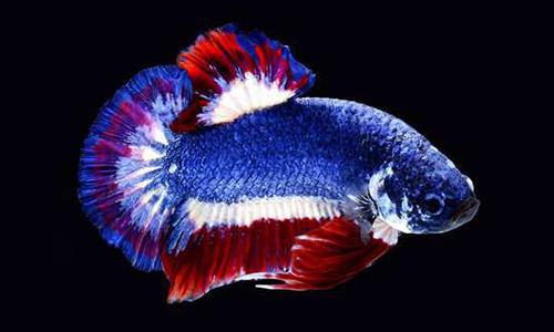 Vẻ đẹp của loài cá chọi Xiêm. Ảnh: AP.