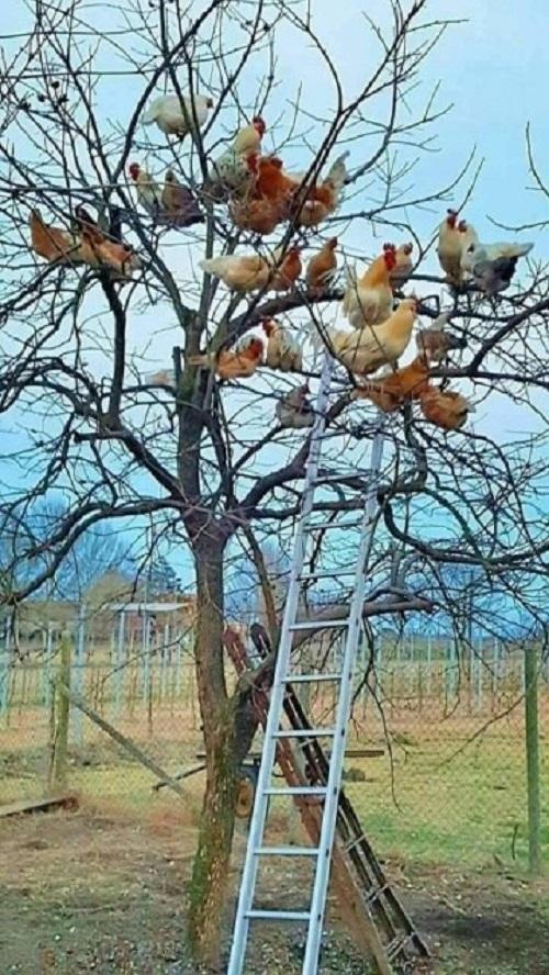 Thiên đườn trên cây của họ nhà gà.