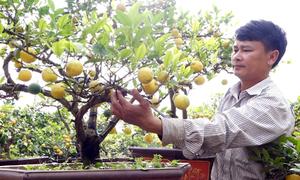 Khách tìm mua chanh vàng bonsai trước tết