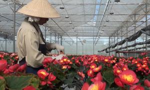 Đà Lạt trồng nhiều loại hoa mới phục vụ thị trường Tết
