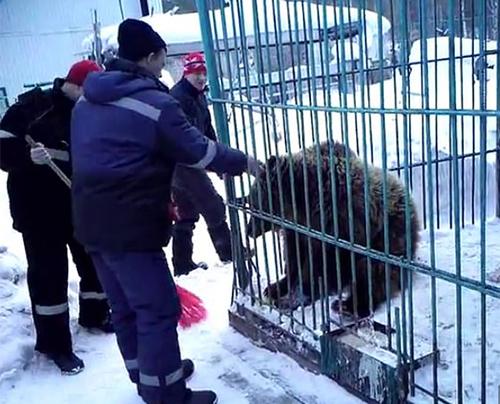 Con gấu được nuôi nhốt để phục vụ khách ở nhà nghỉ Aidashki, thành phố Achinsk. Ảnh: Sirberian Times