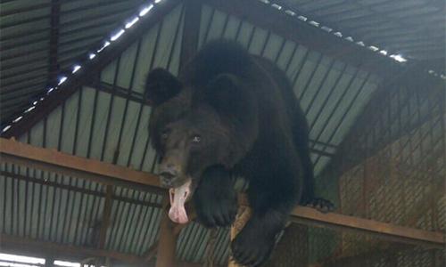 Con gấu tấn công người phụ nữ ở nhà nghỉAidashki, thành phố Achinsk hôm 25/12. Ảnh: Sirberian Times