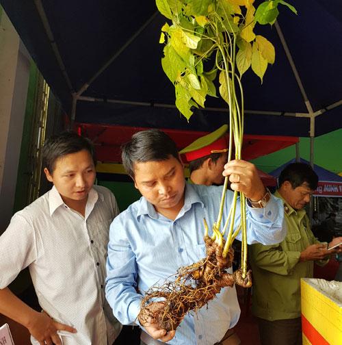 Khách hàng tìm hiểu sâm Ngọc Linh bán tại phiên chợ sâm Nam TràMy (Quảng Nam). Ảnh: QTI.